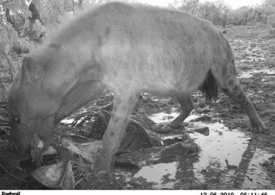 Hyaena on old kill - Stephen Midzi - SANParks.JPG