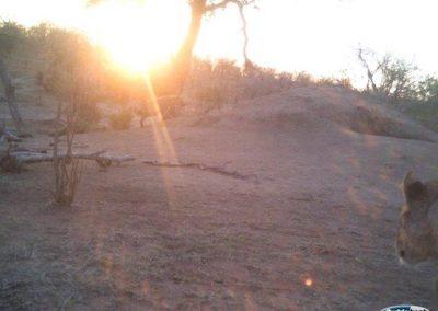Hyena and lion3 - Jeanette Wentzel