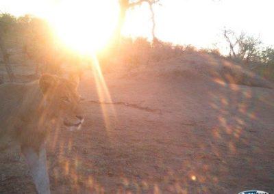 Hyena and lion5 - Jeanette Wentzel