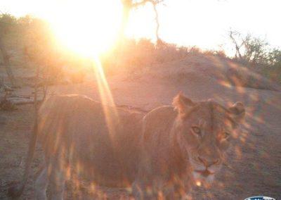 Hyena and lion6 - Jeanette Wentzel