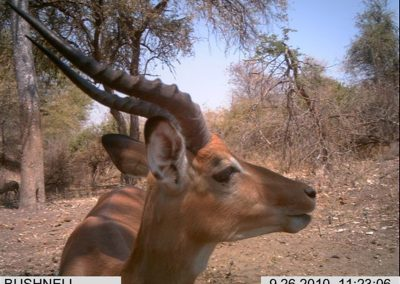 Impala - Wilderness Safaris