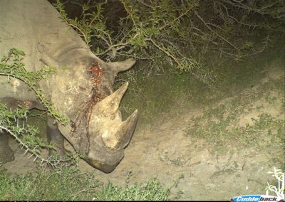Injured black rhino - D Peinke