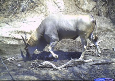 Injured eland2 - Wilderness Safaris