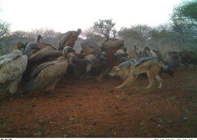Jackal & Vultures at carcass - Caroline Kruger1