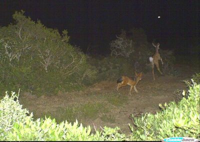 Jackal chasing kudu calf - Mary Fike