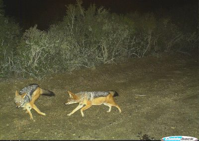 Jackal pair - Brad and Mary Fike