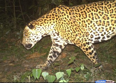 Jaguar1 - Peru - Alan Lee