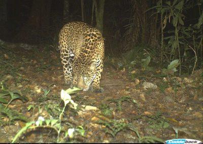 Jaguar2 - Peru - Alan Lee
