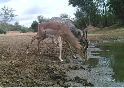 Kudu and impala drinking - Villiers Steyn - HWE
