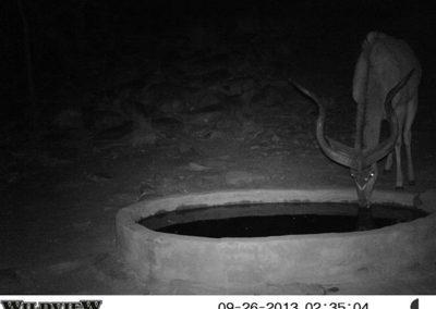 Kudu bull - Innocent Buthelezi
