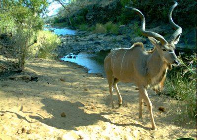 Kudu bull - Limpopo Transfrontier Predator Project