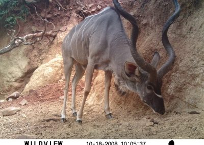 Kudu bull eating soil - Hennie Butler - UFS