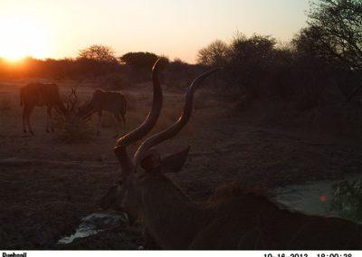 Kudu bulls2 - Jacque Arnold