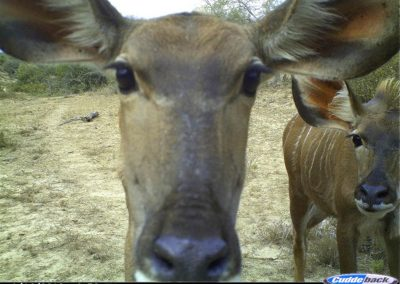 Kudu cow and calf up close - Brad and Mary Fike