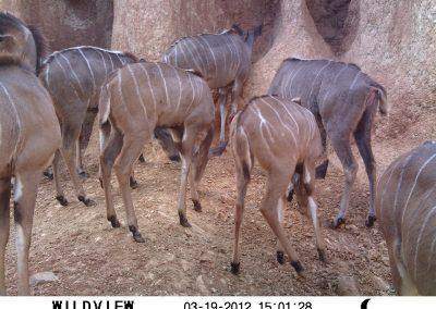 Kudu herd eating soil - Hennie Butler - UFS