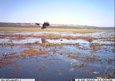 Landing fish eagle - Xander Combrink - KZNWildlife