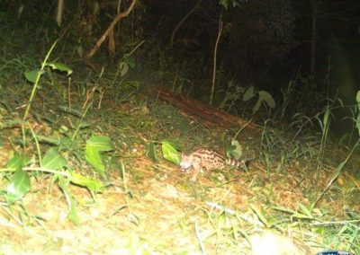 Large Spotted genet - Mark Sidenham