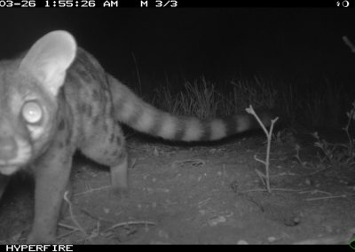 Large spotted genet - Limpopo Transfrontier Predator Project