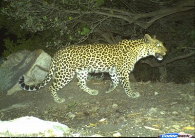 Leopard - Cape Leopard Trust - Boland