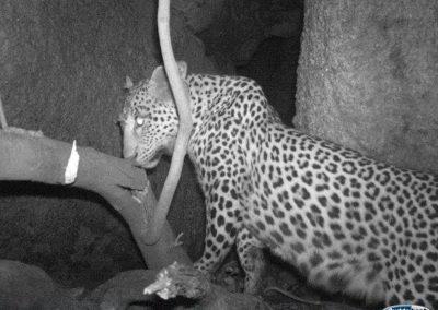 Leopard - Charmaine van Wyk