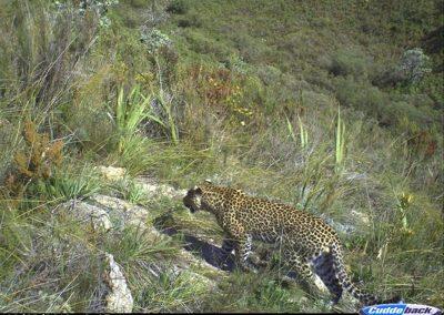 Leopard - Dan Womersley