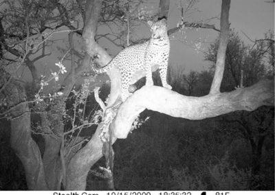 Leopard - Greg Gardiner - Morukuru