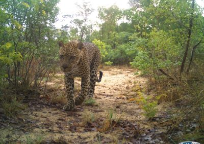 Leopard - Nat Geo Okavango Wilderness Project - Angola