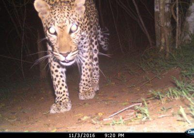 Leopard - Tom Pritchard