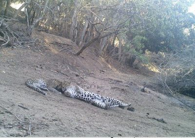 Leopard and cub rolling around - S McAuley