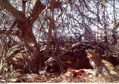 Leopard at kill 2 - Joeleen Peel - Lissataba