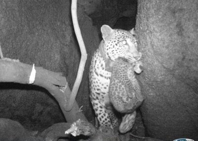 Leopard carrying cub - Charmaine van Wyk