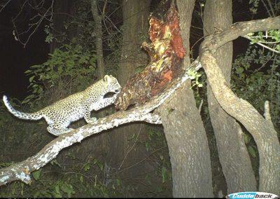 Leopard cub - Byron du Preez - Zimbabwe