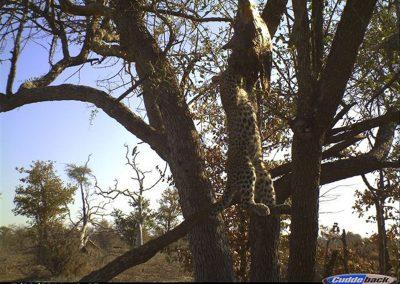 Leopard cub hanging from kill - Byron du Preez