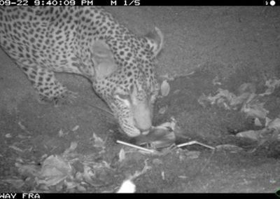 Leopard drinking - Riaan Labuschagne