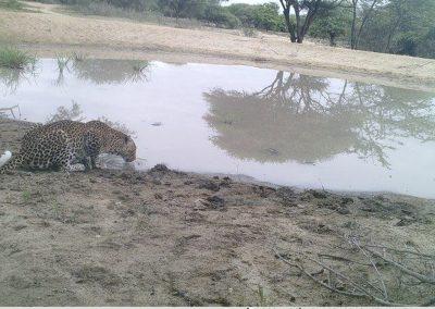 Leopard drinking - S McAuley