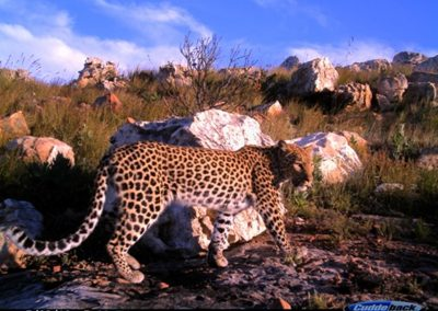 Leopard female - Cape Leopard Trust