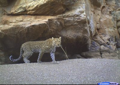 Leopard female - Scott Ristow - Sanbona