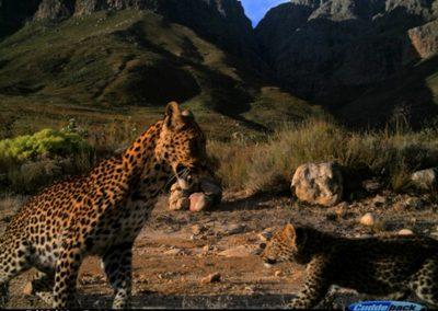 Leopard female & cub - Cape Leopard Trust