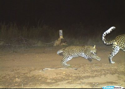 Leopard female playfull cub - Cape Leopard Trust