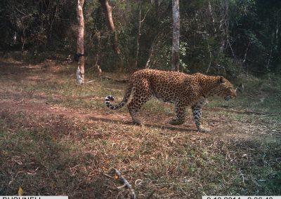 Leopard female with waist snare2 - Richard Mckibbin