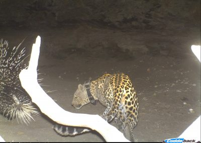 Leopard hunting porcupine 2 - Dick Lockley