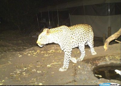 Leopard in Camp - Eco Training