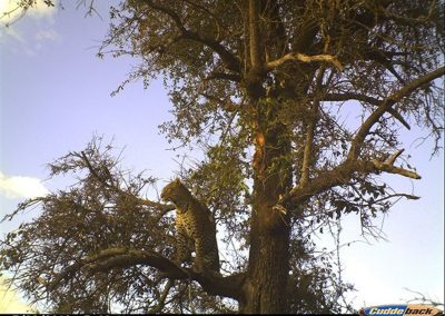 Leopard in tree - Byron du Preez