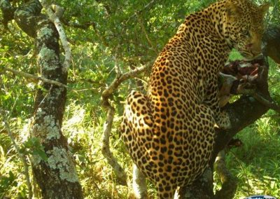 Leopard in tree with kill - Paolo Slaviero - Zululand