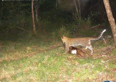 Leopard kill on baboon6 - Leandri Gerber - ECPTA