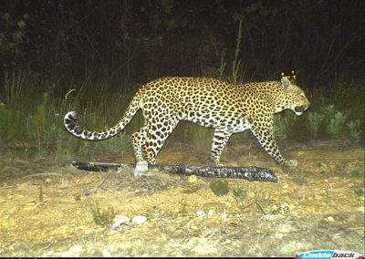Leopard male - Vergelegen Wine Estate