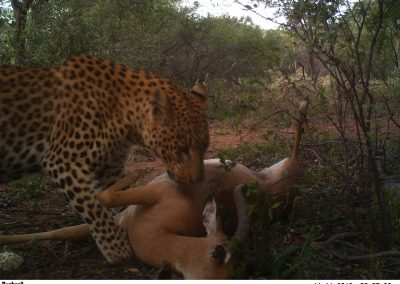 Leopard male on kill 2 - undisclosed
