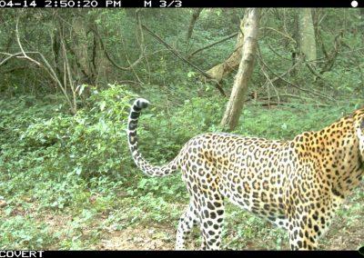 Leopard male with neck snare2 - Richard McKibbin