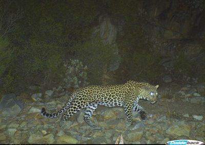 Leopard male1 - Sanbona WR