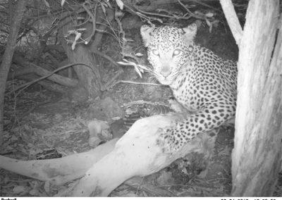 Leopard on kill - Lissataba - Donovan Peel